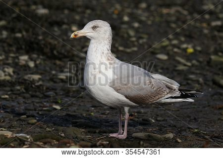 A Juvenile Herring Gull In Third Winter Plumage