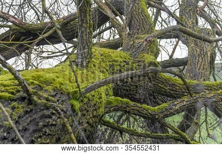 Old Tree With Lots Of Boughs And Branches At Winter Time Seen In Southern Germany