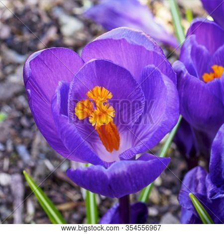 Closeup Of A Purple Crocus Flower With Bright Yellow Stamens And Anthers