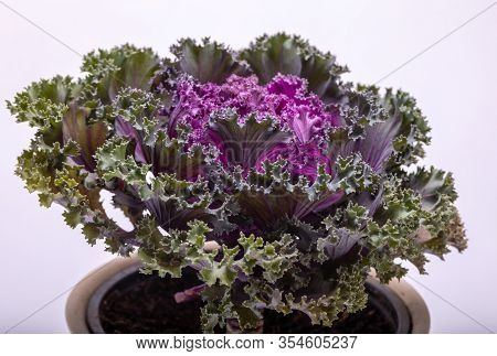 Ornamental Purple Kale Or Cabbage On White Background