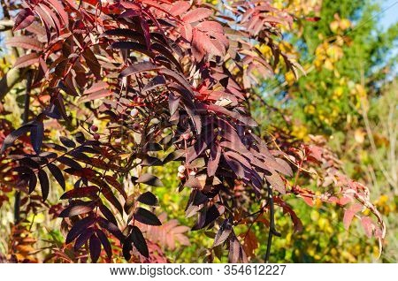 Sorbus Arnoldiana Coral Pink In Autumn In The Botany.