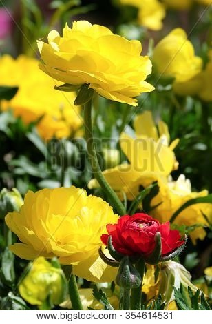 Spring Flowering Of Yellow And Red Asiatic Buttercup (lat. Ranunculus)