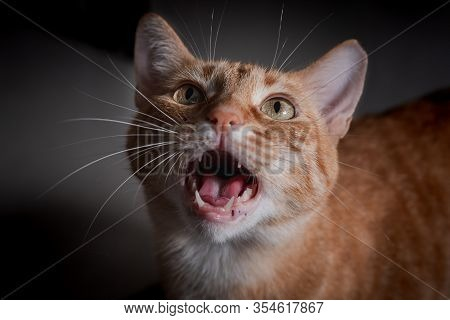 Close-up Of Green-eyed Tabby Cat, Meowing To Get Attention