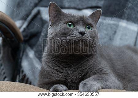 Studio Portrait Of A Russian Blue Cat Cat, Animal, Domestic, Cute, Portrait, Pet, Beautiful, Blue, G