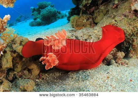 Spanish Dancer (Hexabranchus sanguineus) poster
