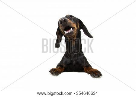 Dachshund Dog  With Paws Over Black Edge. Making A Funny Face. Isolated On White Background.