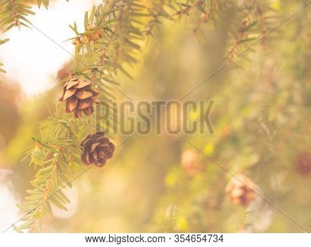 Background With Tsuga Canadensis Tree (canadian Hemlock, Eastern Hemlock) In Golden Color