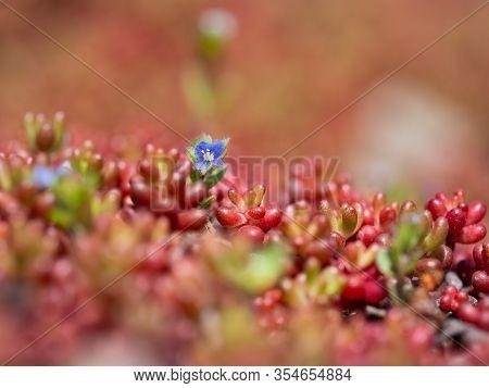 Sedum Album, White Stonecrop, Plant Of The Genus Sedum And Blue Flower Of Veronica Plant