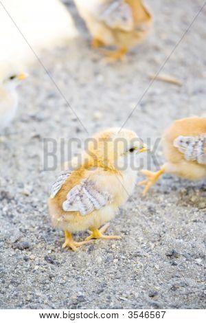 Baby Chicks In Barnyard