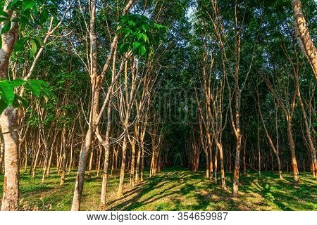 Plantation Tree Rubber Or Latex Tree Rubber Or Para Rubber Tree In Southern Thailand