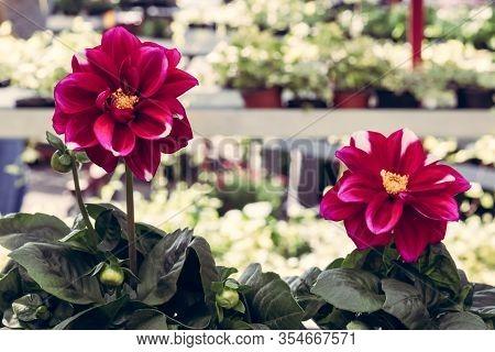 Dark Red Dahlias At The Floral Market. Urban Garden Center.