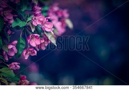 Beautiful Purple Blossom In The Dark Spring Garden. With Copy Space.