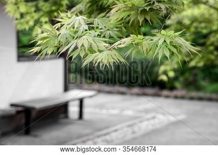 Japanese Maple Trees And A Bench In A Fresh Spring Garden.