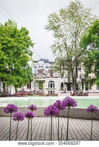 Purple Allium Flowers In A Spring City Park. Square Saint-louis, Montreal (quebec, Canada).