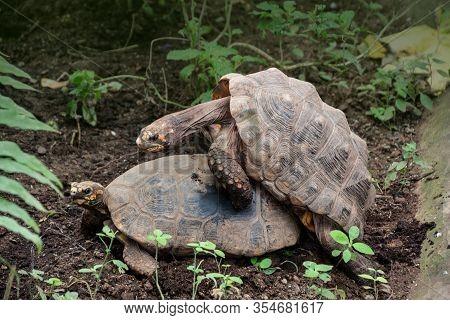 Glyptemys Insculpta - Wood Turtles Copulate In The Bushes