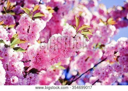 Sakura Festival. Cherry Blossom. Sacura Cherry-tree. Vancouver Cherry Blossom Festival. Sakura Festi