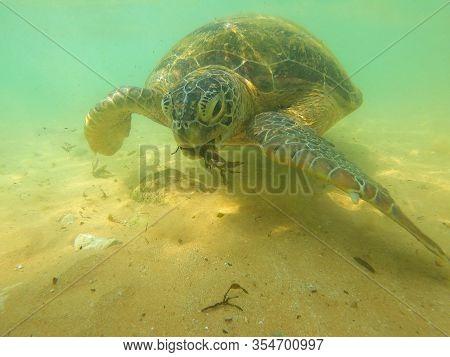 An Olive Turtle Eats Algae In Shallow Water. Hikkaduva, Sri Lanka