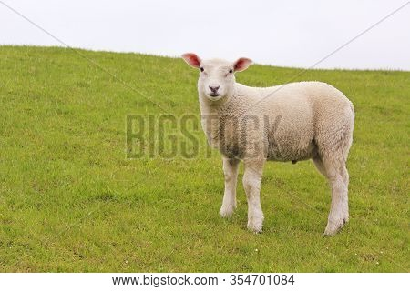 Cute White Sheep On Green Meadow And Lawn Is Watching Me. Niedersachsen, Germany.