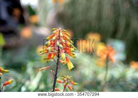 Closeup View Of Candelabra Aloe Arborescens In Indoor Garden