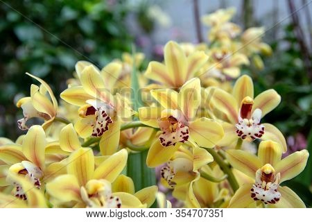 View Of Branch Of Beautiful Yellow Phalaenopsis Orchid On Blurred Background.  Phalaenopsis Blume, C