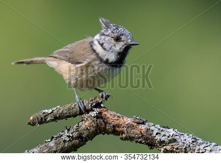 Sunny European Crested Tit (lophophanes Cristatus) Bright Posing On An Small Lichen Covered Branch I