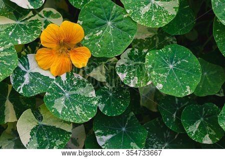 Orange Color Nasturtium Flowers (garden Nasturtium, Indian Cress, Or Monks Cress) With Its Tree And
