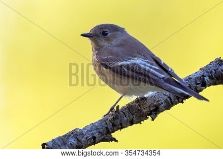 European Pied Flycatcher (ficedula Hypoleuca) Sits On Small Branch With Clean Yellow Background