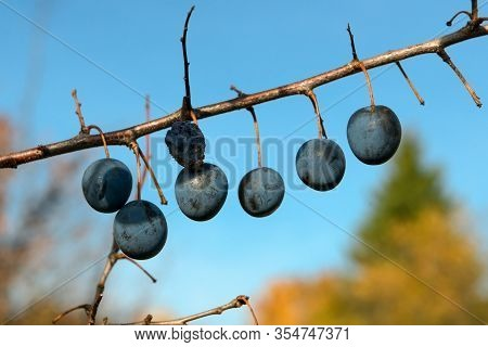 Fresh Blue Plums. Branch Of Plum Fruit. On A Branch Without Leaves. Scene Of Garden Plum Tree. Orcha