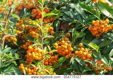 A Lot Of Branches Of Ripe Yellow Rowanberries In The Sunbeam In Autumn. Bunches Of Fresh Berries