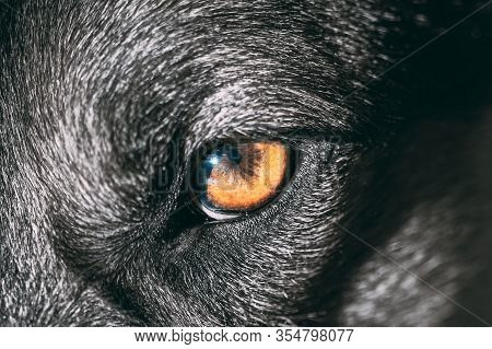 Close Up Eye Pupil Of Black Dog. Dogs Eye.