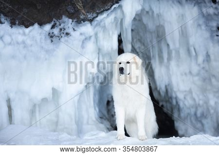 Beautiful Maremmano Abruzzese Dog Standing In Front Of Icefall. Maremma Dog Is Lying On The Snow. Bi