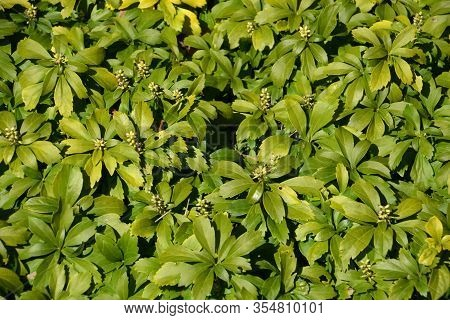 Japanese Pachysandra Evergreen Glossy Leaves Plant, Winter Colored Leaves Of Japanese Spurge Shrub