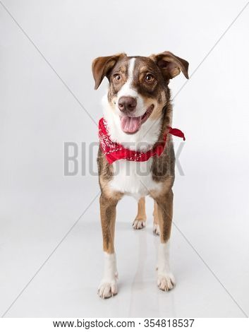 Intelligent Mutt With Lots Of Personality Photographed Standing With Cocked Ear And A Red Bandana In