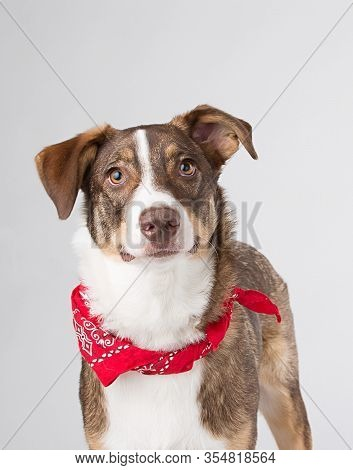 Smart Brown And White Mutt With Lots Of Personality Photographed With A Red Bandana In The Studio Wi