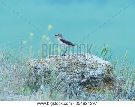 Beautiful Female Bird On A Rock In A Green Background, Isabelline Wheatear, Oenanthe Isabellina, Dob