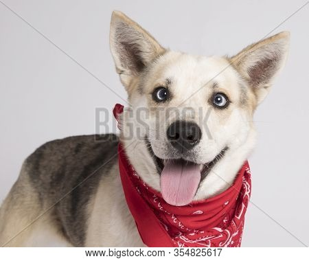 Intelligent Mutt With Blue Eyes And Lots Of Personality Photographed With A Red Bandana In The Studi