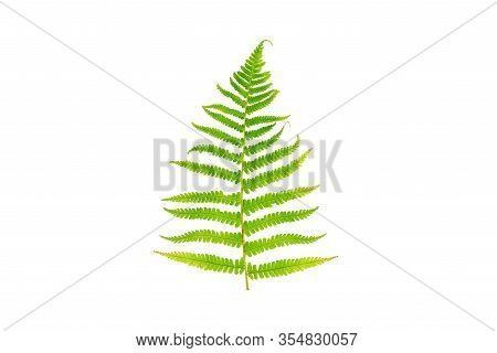 Fern Is Isolated On A White Background. Fern Leaf On A White Background.