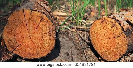 Felled Tree Trunks (pine) сlose-up. The Felled Trees And Felling Process. The Structure Of The Fresh