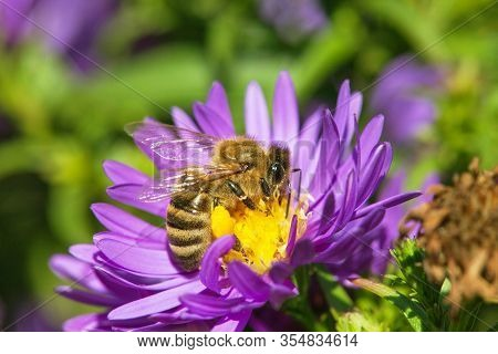Detail Of Bee Or Honeybee In Latin Apis Mellifera, European Or Western Honey Bee Pollinated The Yell