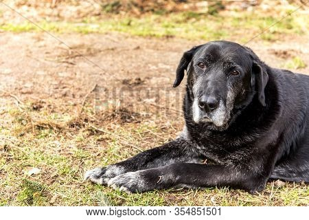 Old Sick Dog Lying On Meadow. Sad Dog Eyes. Abandoned Dog. Old Age And Illness. Sadness.