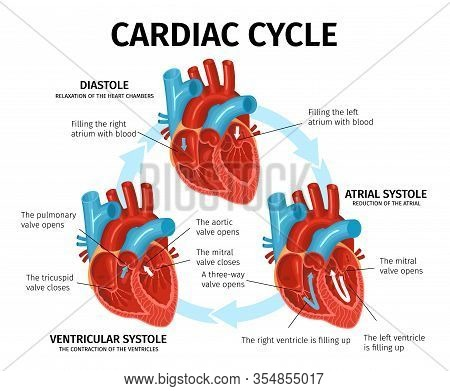 Flat Infographics With Heart Anatomy And Description Of Cardiac Cycle Vector Illustration