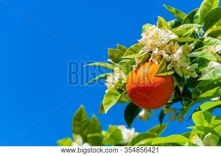 Orange Tree With Blossoms And Orange Fruit In Portugal, Over Blue Sky
