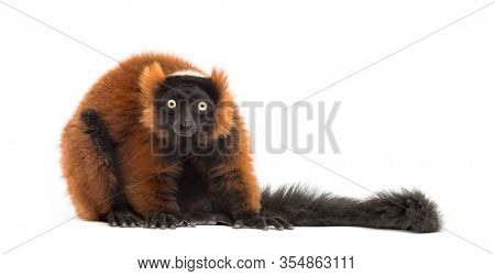 red ruffed lemur looking at the camera, isolated on white