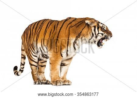 Tiger standing and growling, big cat, isolated on white