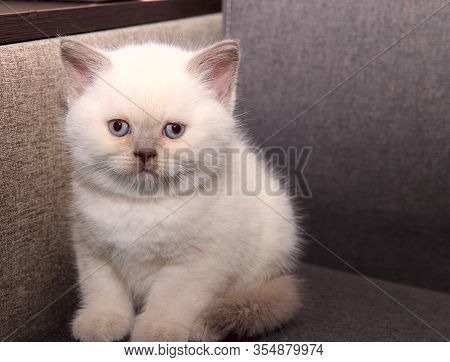 Portrait Of A Cute White Kitten. A Little Funny Kitten Is Sitting On The Sofa. Background Of Pets. W
