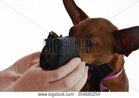 The Owner Puts A Muzzle On A Small Dog's Face.