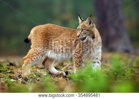 The Eurasian Lynx (lynx Lynx), Also Known As The European Lynx Or Siberian Lynx In Autumn Colors In