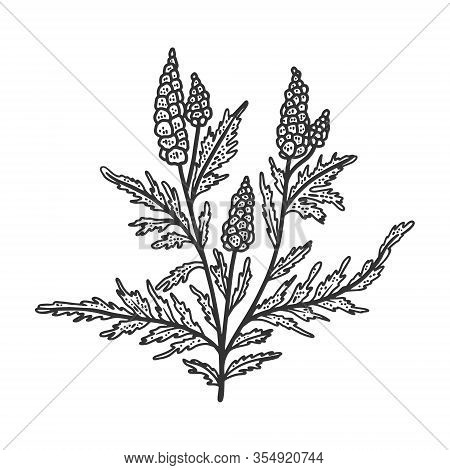 Ragweed Ambrosia Plant Sketch Engraving Vector Illustration. T-shirt Apparel Print Design. Scratch B