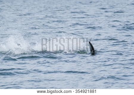 Killer Whale Is Diving In A Big Splash In Tofino, View From Boat On A Killer Whale