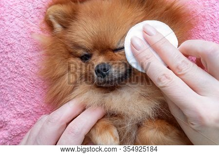 Woman Cleans The Eyes Of A Pomeranian Dog
